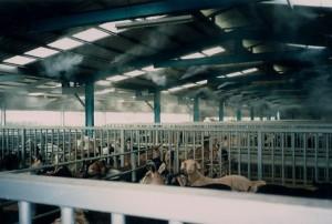 Охлаждение в животноводстве
