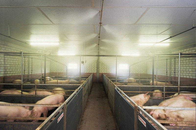 Применение систем туманообразования в свиноводстве