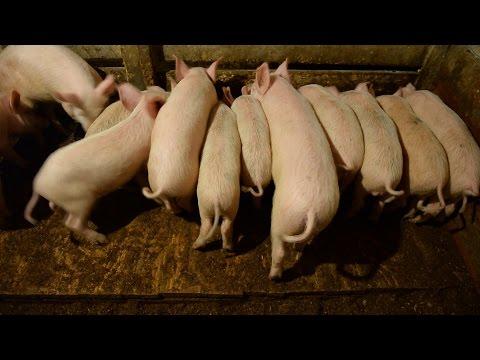 Применение системы тумана на свиноводческих фермах